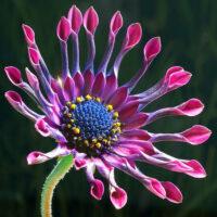 Duke Ellington's Fleurette Africaine (Little African Flower)